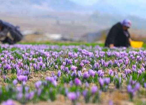 برداشت و تولید زعفران