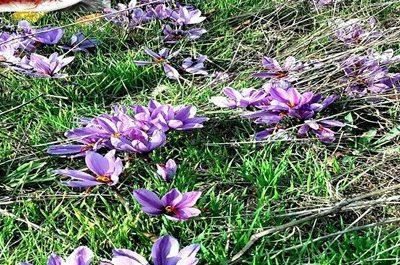 قیمت گل زعفران - بارش باران