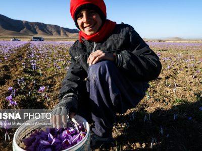 امید در بازار زعفران