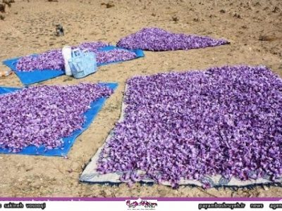 گلبرگ زعفران