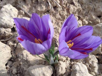 دستگاه برداشت گل زعفران