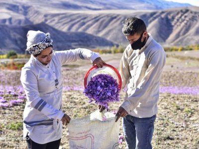 خرید حمایتی زعفران در خراسان شمالی