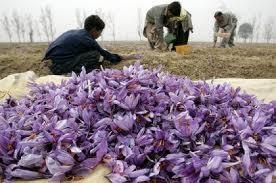زعفران کاران افغانستانی
