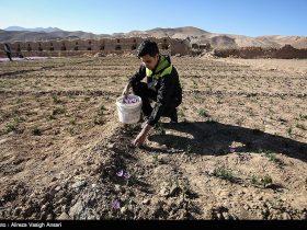 کاهش تولید زعفران خشکسالی